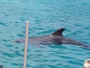 Ein Delphin nah am Ufer. Der Rücken mit der Finne schaut aus dem Wasser.