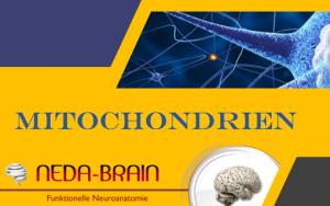 Kurs: Die bedeutungsvollen Funktionen der Mitochondrien